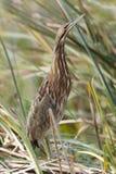 Американская выпь пряча в болоте Cattail - Флорида Стоковые Изображения RF