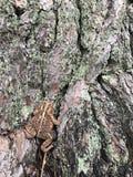 Американская жаба в дереве Стоковые Фотографии RF