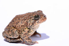американская жаба карлика Стоковое фото RF