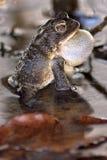 Американская жаба пея Стоковая Фотография