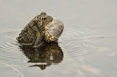 Американская жаба пея Стоковые Фото