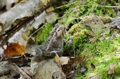 Американская жаба - фото запаса Стоковые Фото