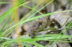 Американская жаба - фото запаса Стоковая Фотография