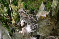 Американская жаба - фото запаса Стоковые Фотографии RF