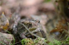 Американская жаба - фото запаса Стоковое Фото