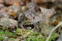 Американская жаба - фото запаса Стоковое Изображение
