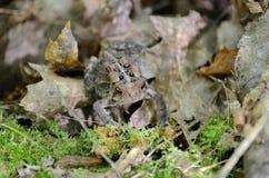 Американская жаба - фото запаса Стоковые Изображения RF