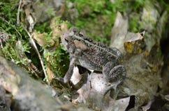 Американская жаба - фото запаса Стоковое фото RF