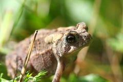 американская жаба Стоковые Изображения