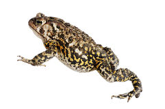 американская жаба Стоковое фото RF