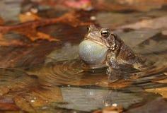 Американская жаба Стоковые Изображения RF
