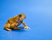 американская жаба Стоковое Изображение RF