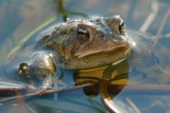 американская жаба Стоковое Фото