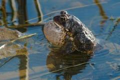 американская жаба Стоковые Фото