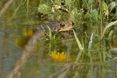 американская жаба Стоковые Фотографии RF