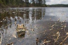 американская жаба Стоковое Изображение