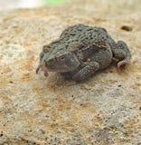 Американская жаба, Anaxyrus americanus Стоковая Фотография