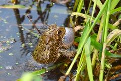 Американская жаба (Bufo americanus) Стоковая Фотография RF