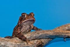 Американская жаба (Bufo americanus) Стоковые Изображения