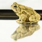 Американская жаба Bufo americanus Стоковая Фотография RF