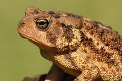 Американская жаба Bufo americanus Стоковое фото RF