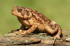 Американская жаба Bufo americanus Стоковые Фото