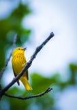 Американская желтая певчая птица Стоковое фото RF
