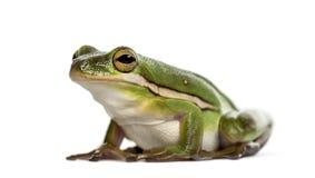 Американская зеленая изолированная древесная лягушка, Стоковое Фото