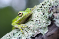 Американская зеленая древесная лягушка на ветви мха Стоковое фото RF