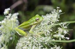 Американская зеленая древесная лягушка на цветке шнурка ` s ферзя Энн Стоковая Фотография
