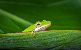 Американская зеленая древесная лягушка (Hyla cinerea) Стоковое фото RF