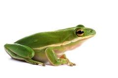 Американская зеленая древесная лягушка (Hyla cinerea) Стоковые Изображения RF