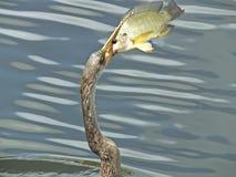 Американская змеешейка американской змеешейки американской змеешейки Стоковое Фото