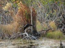 Американская змеешейка садить на насест в дереве Стоковое Фото