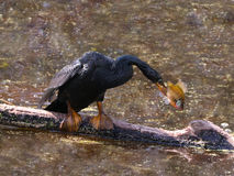 Американская змеешейка с рыбами Стоковые Фото