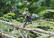 Американская змеешейка с openwings, американская змеешейка американской змеешейки, национальный парк Tortuguero, Коста-Рика Стоковые Фотографии RF