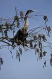 Американская змеешейка устроилась удобно в ветвях в болотистых низменностях Флориды Стоковые Изображения