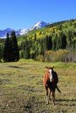 Американская квартальная лошадь в поле, утесистые горы, Колорадо Стоковое Фото