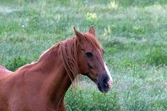 Американская квартальная лошадь Стоковое Изображение RF