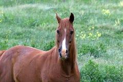 Американская квартальная лошадь Стоковая Фотография