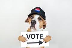 Американская концепция активизма избрания: собака терьера Стаффордшира в патриотической шляпе бейсбола Терьер Pitbull в шляпе вод стоковое изображение rf
