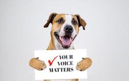 Американская концепция активизма избрания с собакой терьера Стаффордшира Смешной терьер pitbull держит стоковая фотография