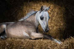 американская миниатюра лошади Осленок серовато-коричневого цвета лежа на соломе Стоковое фото RF