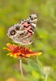 американская покрашенная повелительница бабочки Стоковое Изображение RF