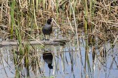 Американская простофиля в болоте стоковые фото