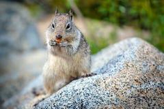 Американская серая белка на национальном парке Yosemite Стоковые Изображения