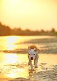американская собака клиппирования 3d над белизной terrier staffordshire тени перевода путя стоковые фотографии rf