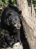 американская чернота медведя Стоковое Изображение RF