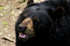 американская чернота медведя Стоковые Изображения
