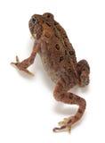 американская americanus жаба bufo стоковое фото rf